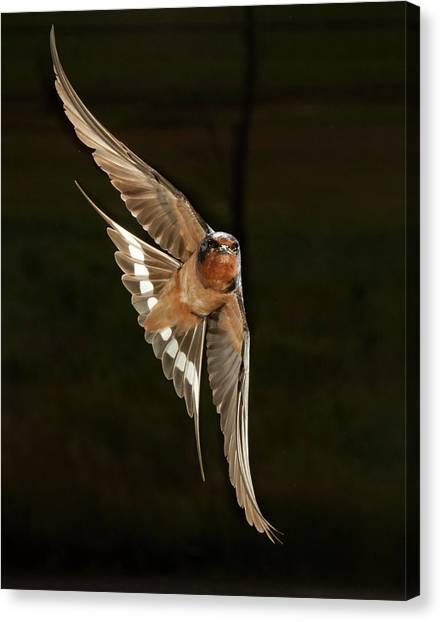 Swallows Canvas Print - North America, Usa, Pennsylvania, Barn by Joe and Mary Ann Mcdonald