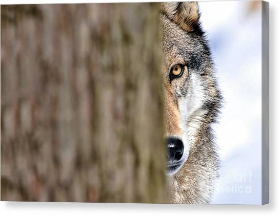 North American Gray Wolf Behind Tree Canvas Print