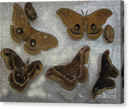 North American Large Moth Collection Canvas Print