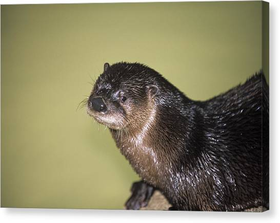 North American River Otter Canvas Print by Sally Mccrae Kuyper/science Photo Library