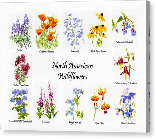 Geranium Canvas Print - North American Wildflowers Poster II by Sharon Freeman