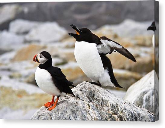 Razorbills Canvas Print - North Atlantic Puffin And Razorbill by Lena Hatch