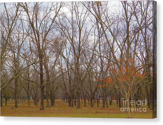 North Florida Orchard In Fall Canvas Print