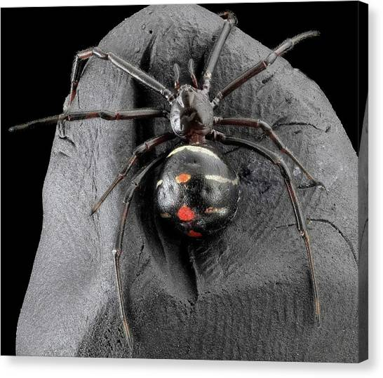 Black Widow Canvas Print - Northern Black Widow Spider by Us Geological Survey