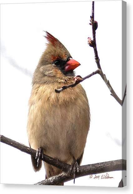 Canvas Print featuring the photograph Northern Cardinal In Spring by Edward Peterson