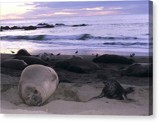 Northern Elephant Seal Cow And Pup At Sunset Canvas Print