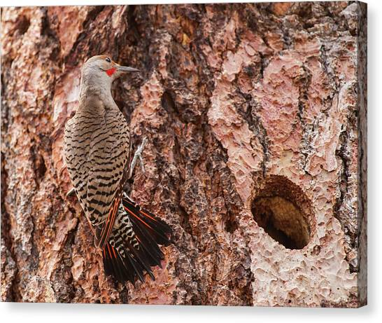 Northern Flicker Canvas Print - Northern Flicker Balanced On The Bark by Michael Qualls
