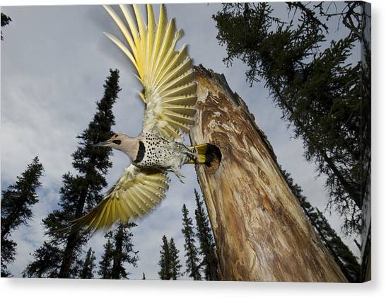Northern Flicker Canvas Print - Northern Flicker Leaving Nest Cavity by Michael Quinton