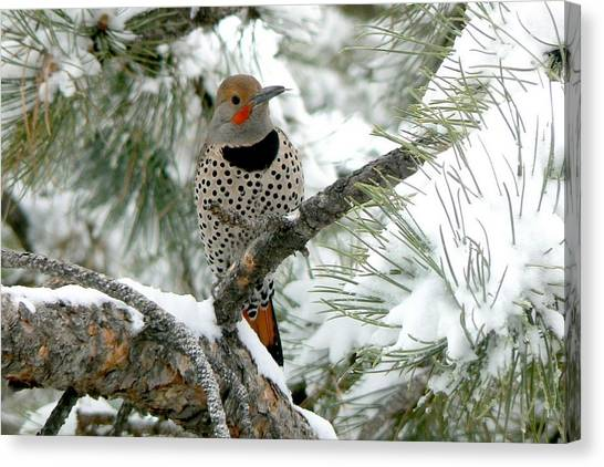 Northern Flicker On Snowy Pine Canvas Print