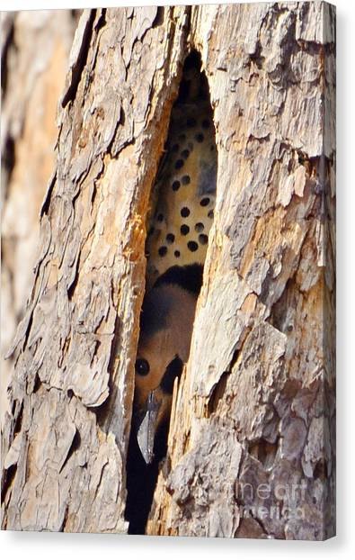 Northern Flicker Playing Peek-a-boo Canvas Print by Kathy Baccari