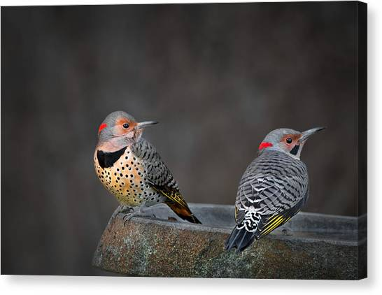 Northern Flicker Canvas Print - Northern Flickers by Bill Wakeley