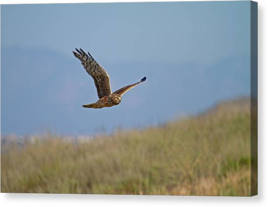 Northern Harrier In Flight Canvas Print