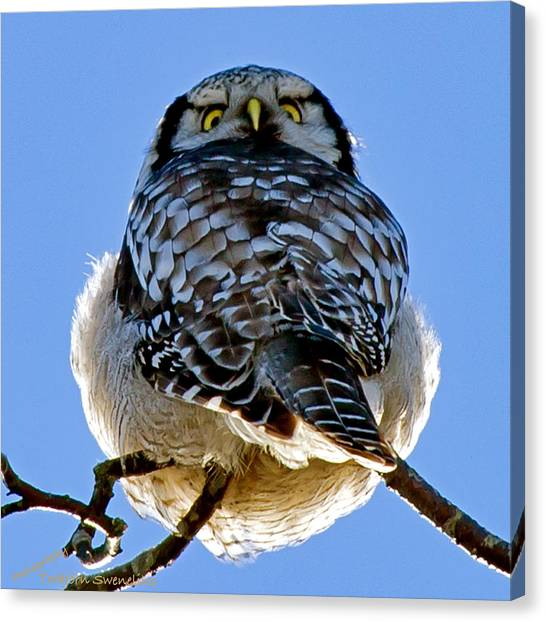 Northern Hawk Owl Looks Around Canvas Print