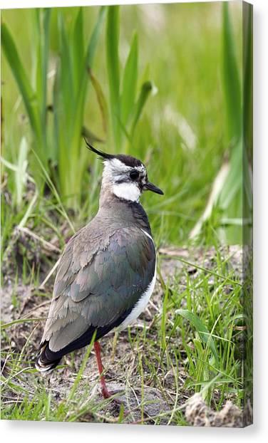Lapwing Canvas Print - Northern Lapwing by David Woodfall Images/science Photo Library
