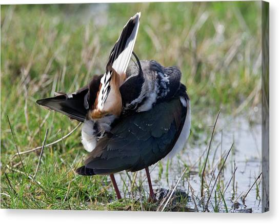 Lapwing Canvas Print - Northern Lapwing Preening by John Devries/science Photo Library