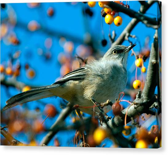 Mockingbird Canvas Print - Northern Mockingbird by Bob Orsillo