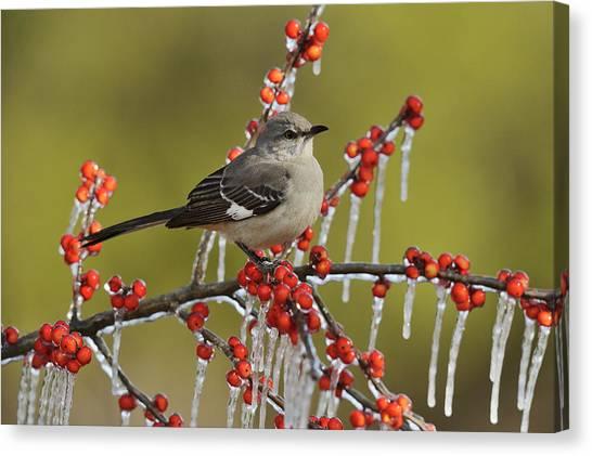 Mockingbirds Canvas Print - Northern Mockingbird (mimus Polyglottos by Rolf Nussbaumer