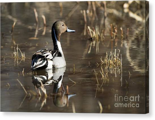 Handsome Northern Pintail Canvas Print
