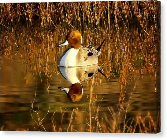 Northern Pintail Duck Canvas Print by Thomas Kaestner