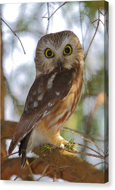 Saws Canvas Print - Northern Saw-whet Owl by Bruce J Robinson