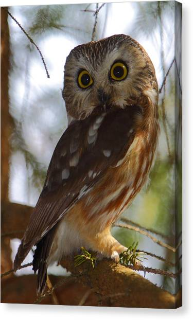Northern Saw-whet Owl II Canvas Print