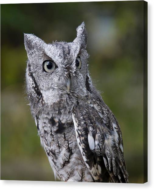 Northern Screech Owl Canvas Print