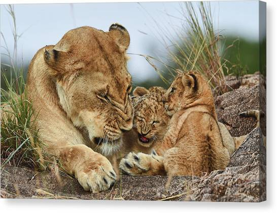 Nostalgia Lioness With Cubs Canvas Print by Aziz Albagshi