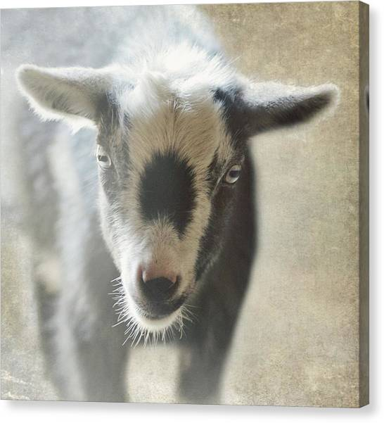 Pigmy Canvas Print - Not By The Hair Of My Chinny Chin Chin by Stephanie Calhoun