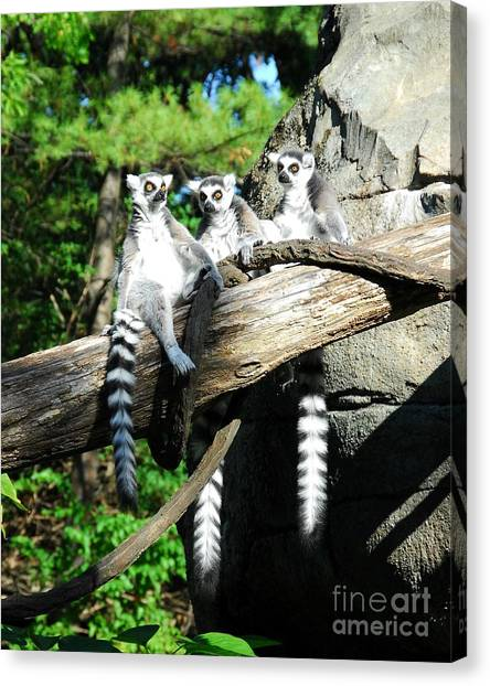 Ring Tailed Lemur Canvas Print - Not Polite To Stare by Mel Steinhauer