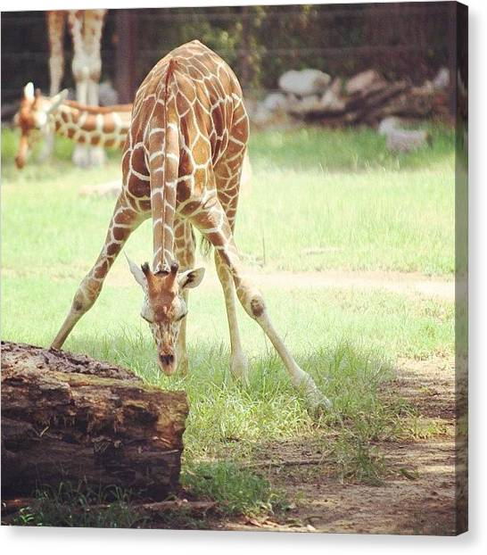 Giraffes Canvas Print - Not Sure If I Already Posted This One by Jesse Vargas