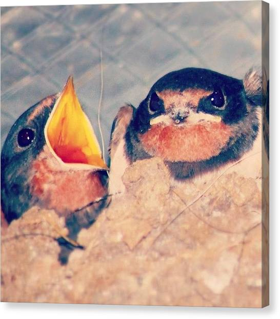 Swallows Canvas Print - Not Sure What The Evil One Just Said by Tom Welton