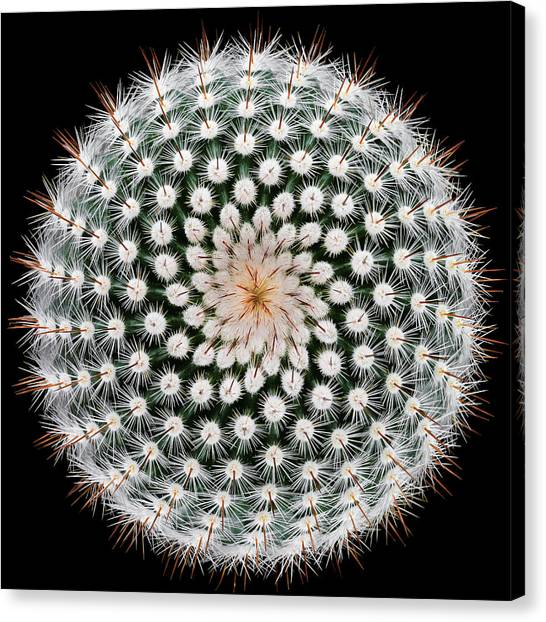Fractal Canvas Print - Notocactus Scopa by Victor Mozqueda
