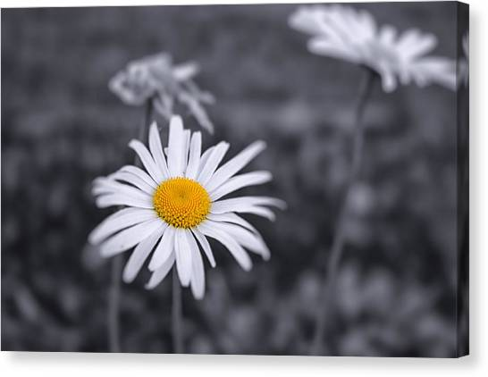 November Daisy Canvas Print