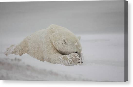 Polar Bears Canvas Print - Now You See Me by Alessandro Catta