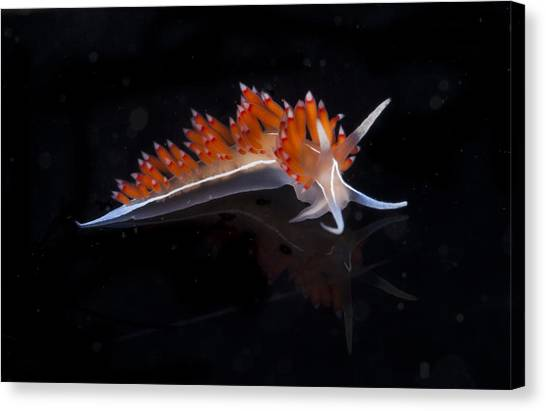 Snorkling Canvas Print - Nudibranch by Sandra Edwards