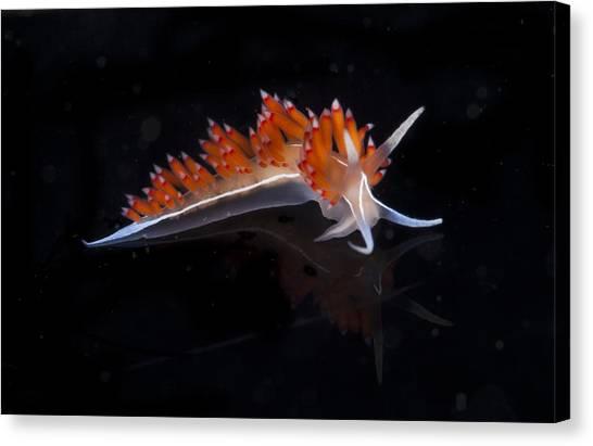 Snorkling Canvas Print - Nudibranch by Sandra Edwards