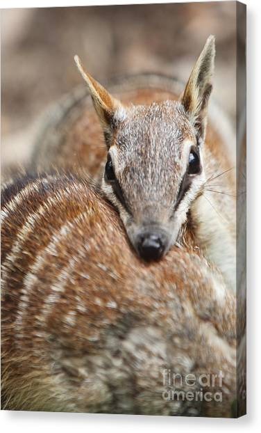 Numbats Canvas Print