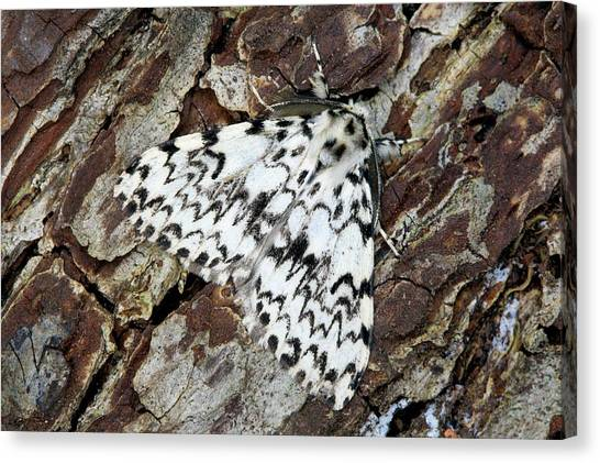 Nuns Canvas Print - Nun Moth by Simon Booth/science Photo Library