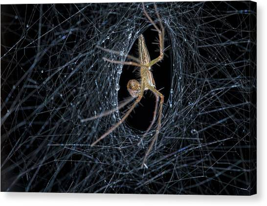 Animal Behaviour Canvas Print - Nursery Web Spider On Its Nursery Web by Melvyn Yeo