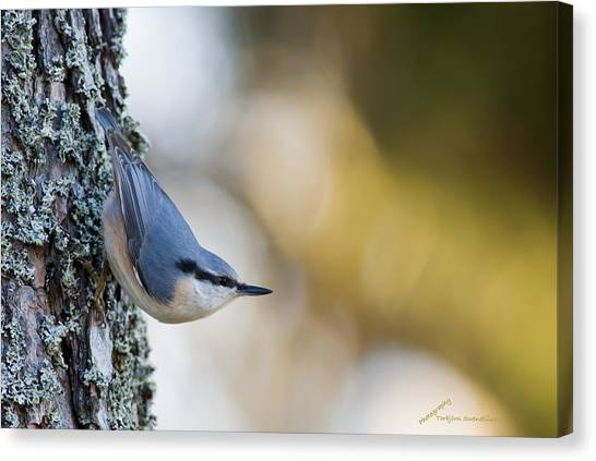 Nuthatch In The Classical Position Canvas Print