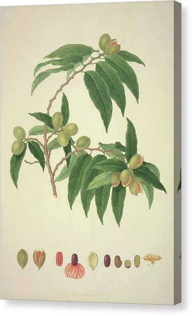 Nutmeg Plant Canvas Print by Natural History Museum, London/science Photo Library