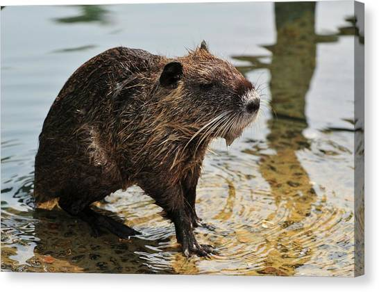 River Jordan Canvas Print - Nutria by Photostock-israel