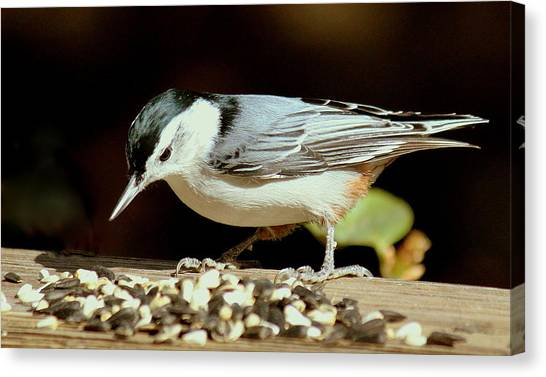 Nuts For The Nuthatch Canvas Print by Rosanne Jordan