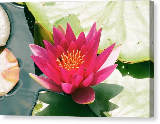 Nymphaea 'escarboucle' Canvas Print by Adrian Thomas