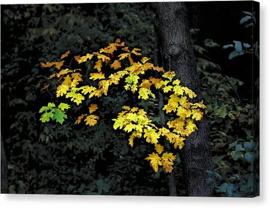 Oak Cluster Canvas Print
