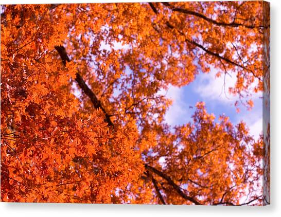 Oak In Evening Sun Canvas Print by Denise Beverly