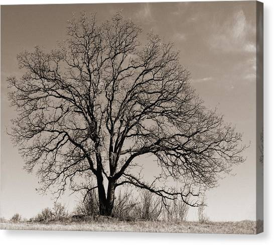 Oak In Sepia Canvas Print