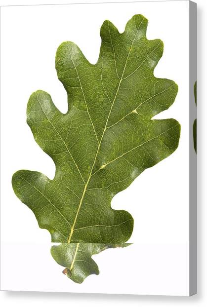 Oak (quercus Robur) Leaf Canvas Print by Science Photo Library