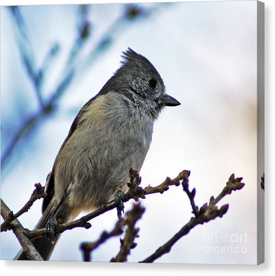 Oak Titmouse Canvas Print