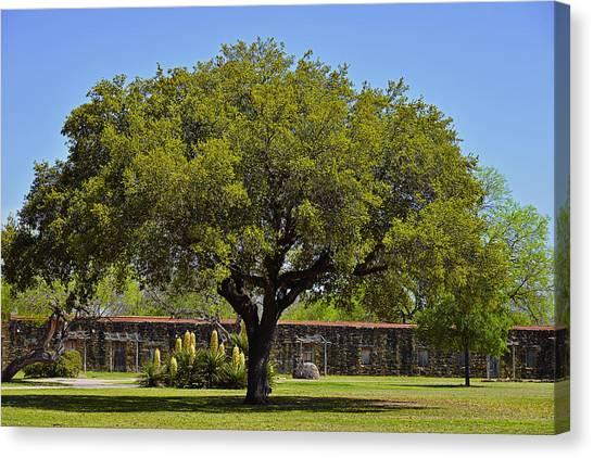 Oak Canvas Print - Oak Tree Mission San Jose Tx by Christine Till